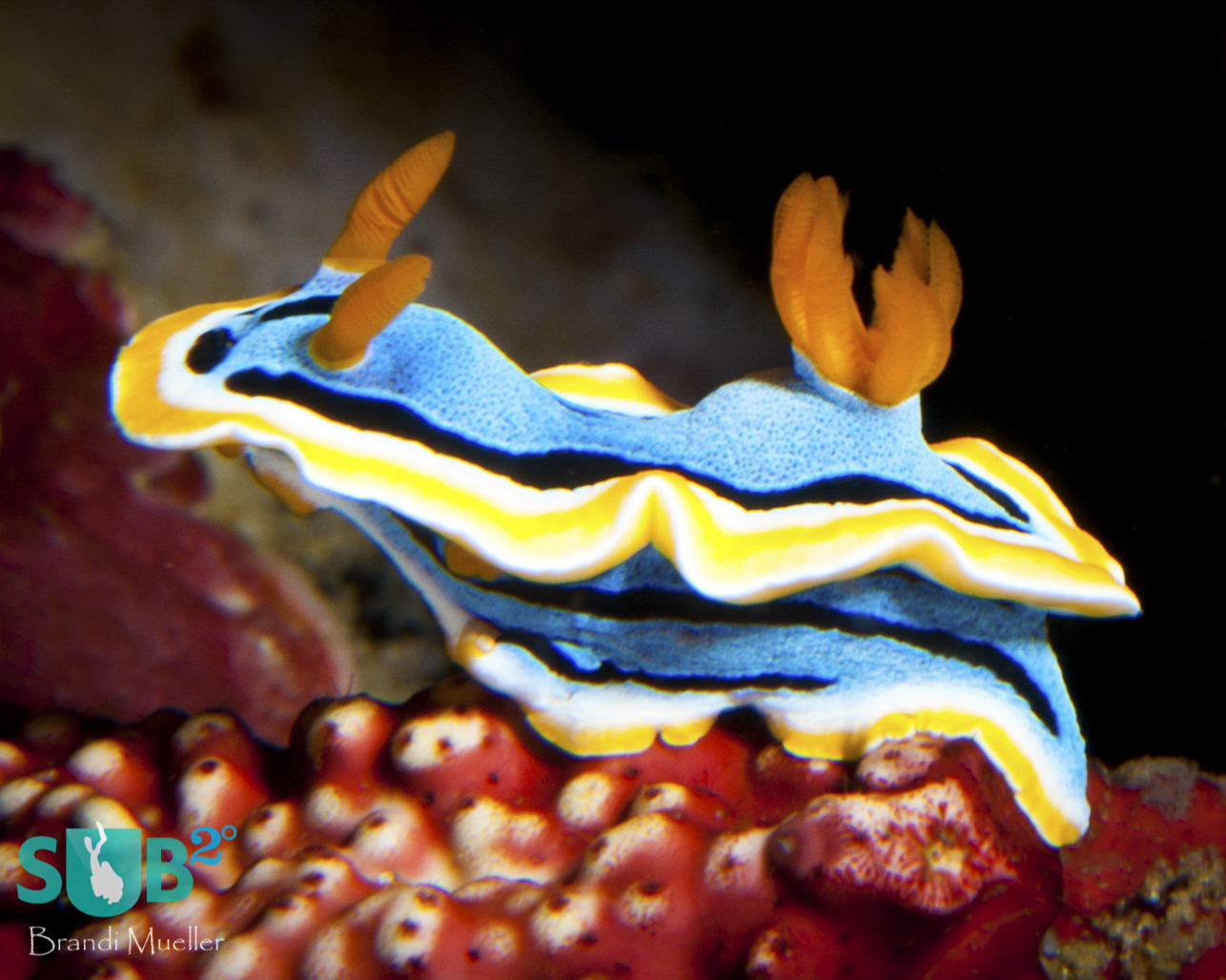 A nudibranch (Chromodoris annae) slowly moves along the reef.  The Philippines have over 700 species of nudibranchs.