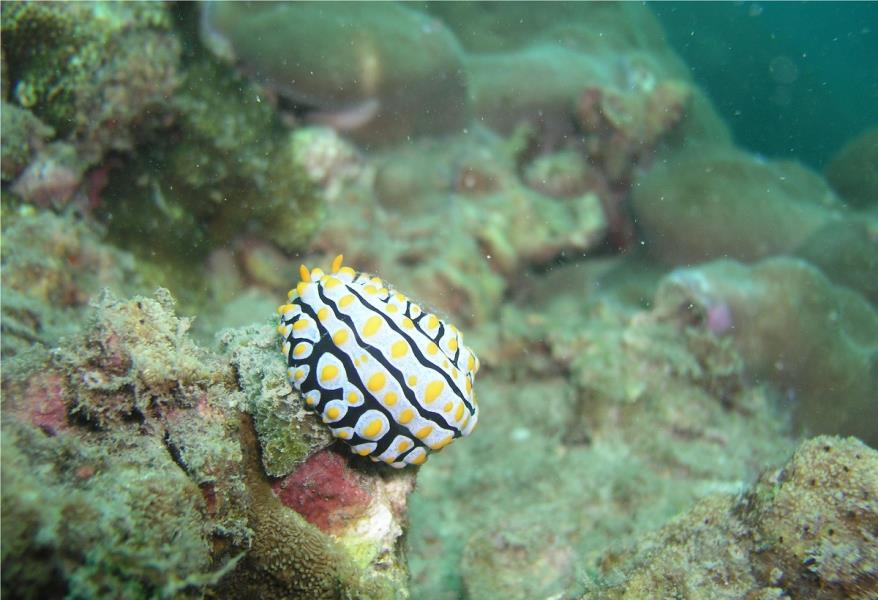 Nudibranch at Ao Sane 02