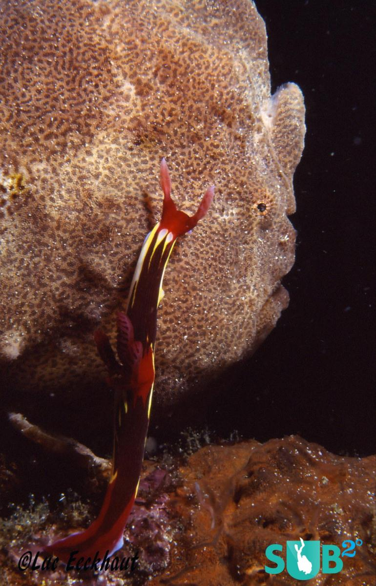 Nudibranch on Giant Frogfish