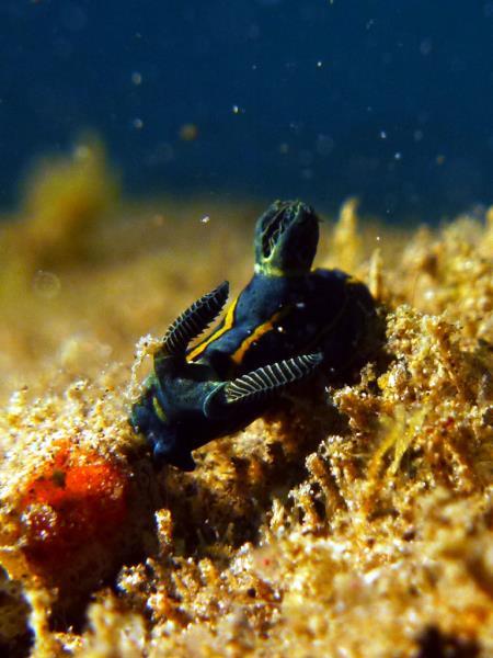 nudi_roboastra_tentaculata