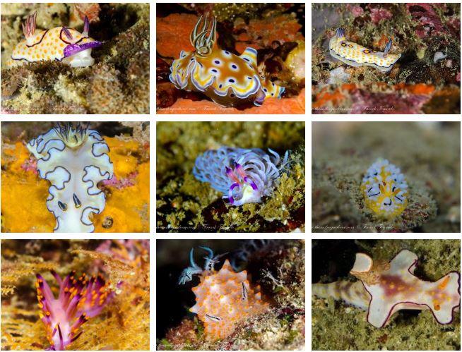 Sea slugs, Nudibranchs in Burma