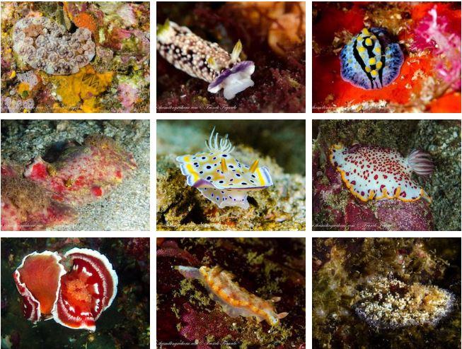 Nudibranchs of Myanmar