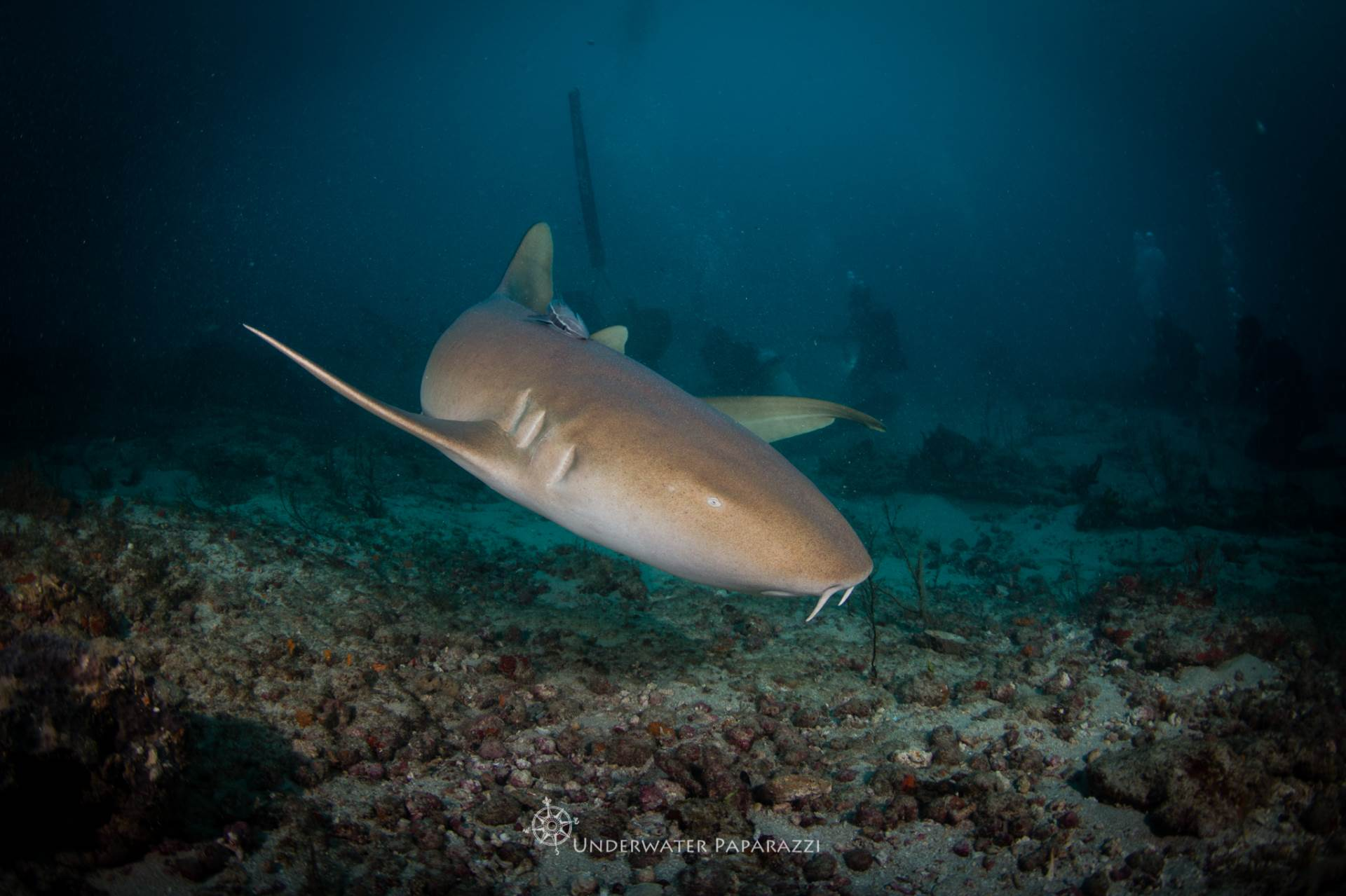 You'll find Nurse sharks mixed in with the Lemon sharks looking for a snack while shark diving in Jupiter Florida
