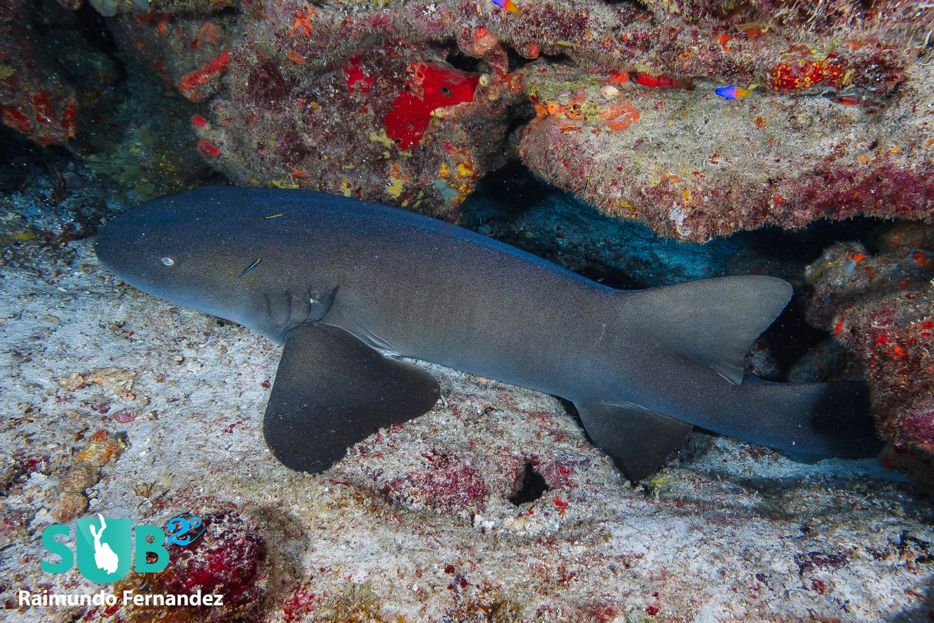 In Grenada, it's common to find nurse sharks chilling around wrecks and reefs.