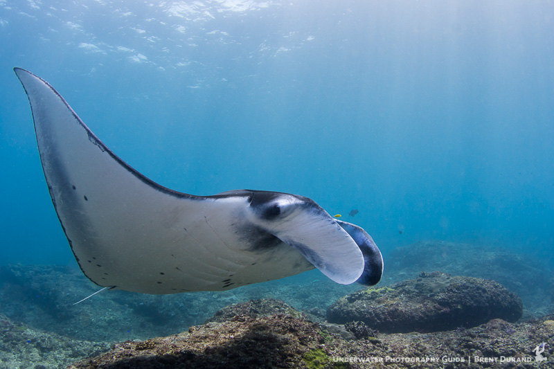 A manta ray swims calmly towards the cleaning station at Manta Point, Nusa Penida, Bali.