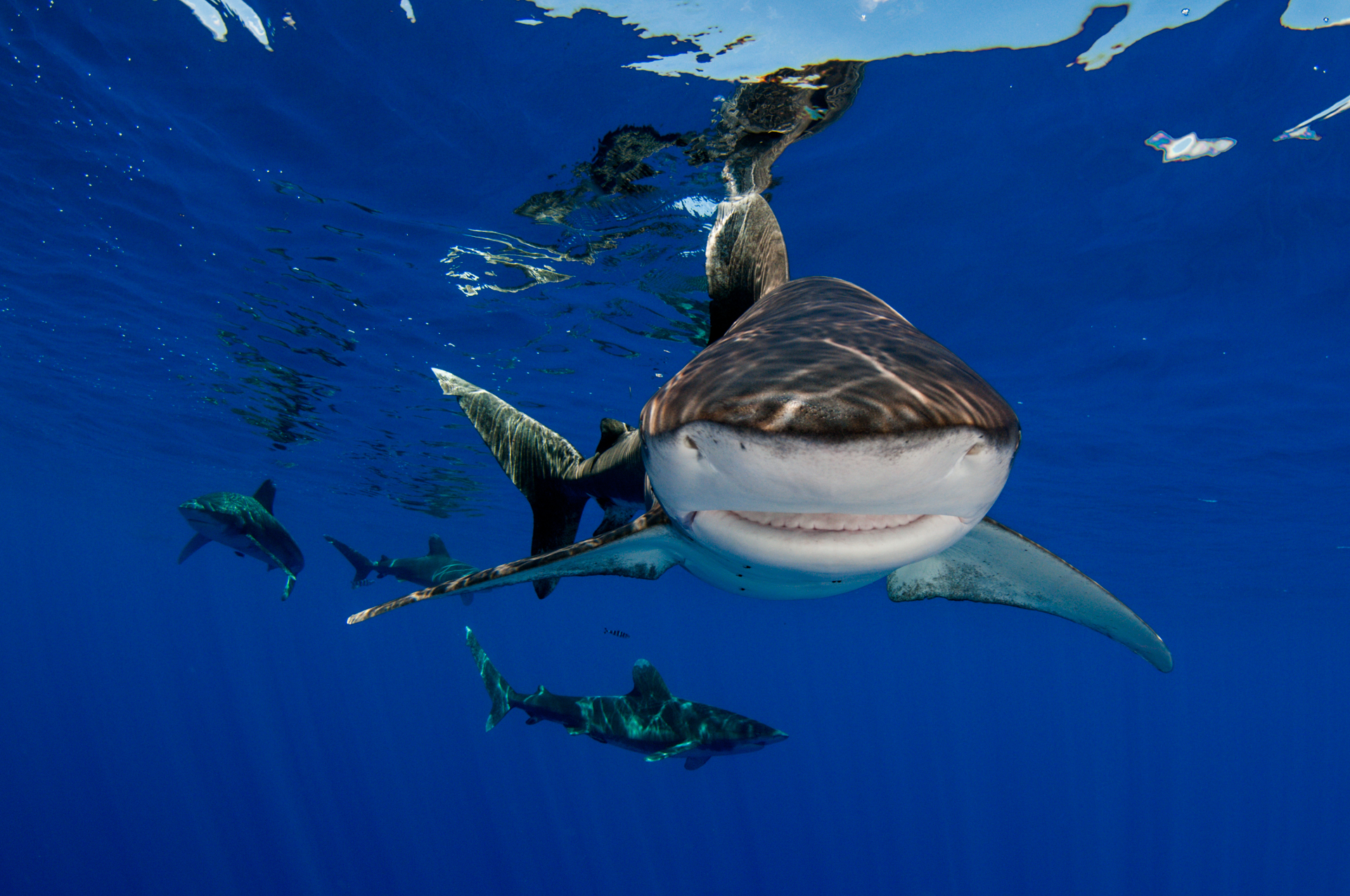 While on a research expedition we got time to spend in the water with these great sharks. At one point we had 11.