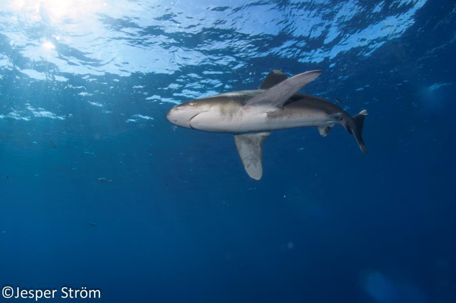 Ocenaic White Tip Shark