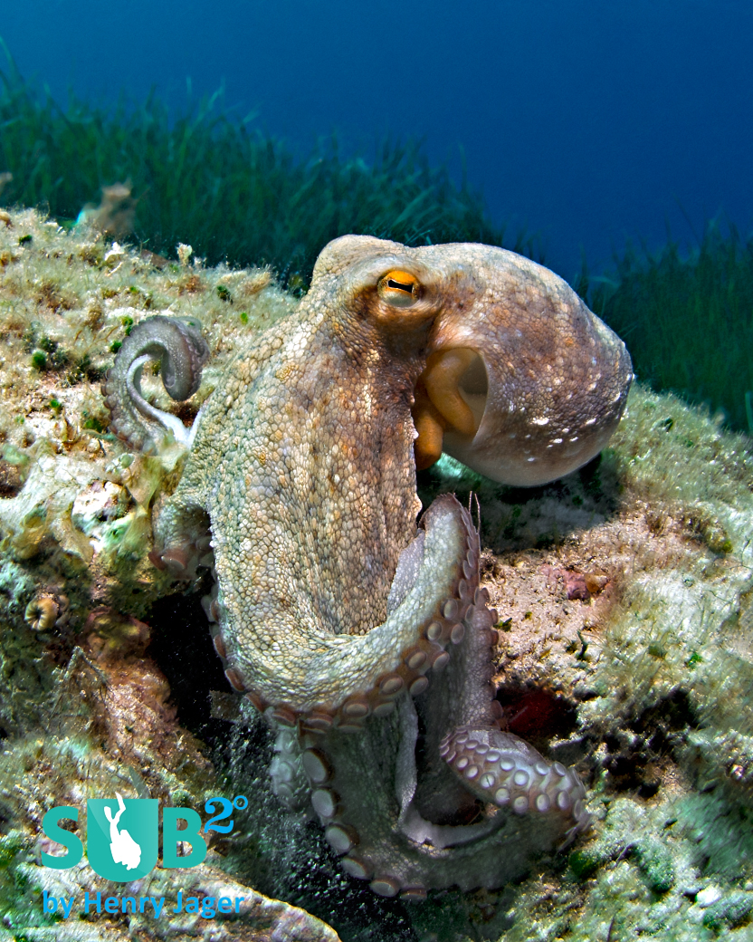 This octopus was just leaving his hiding place in shallow water in the south of Minorca.