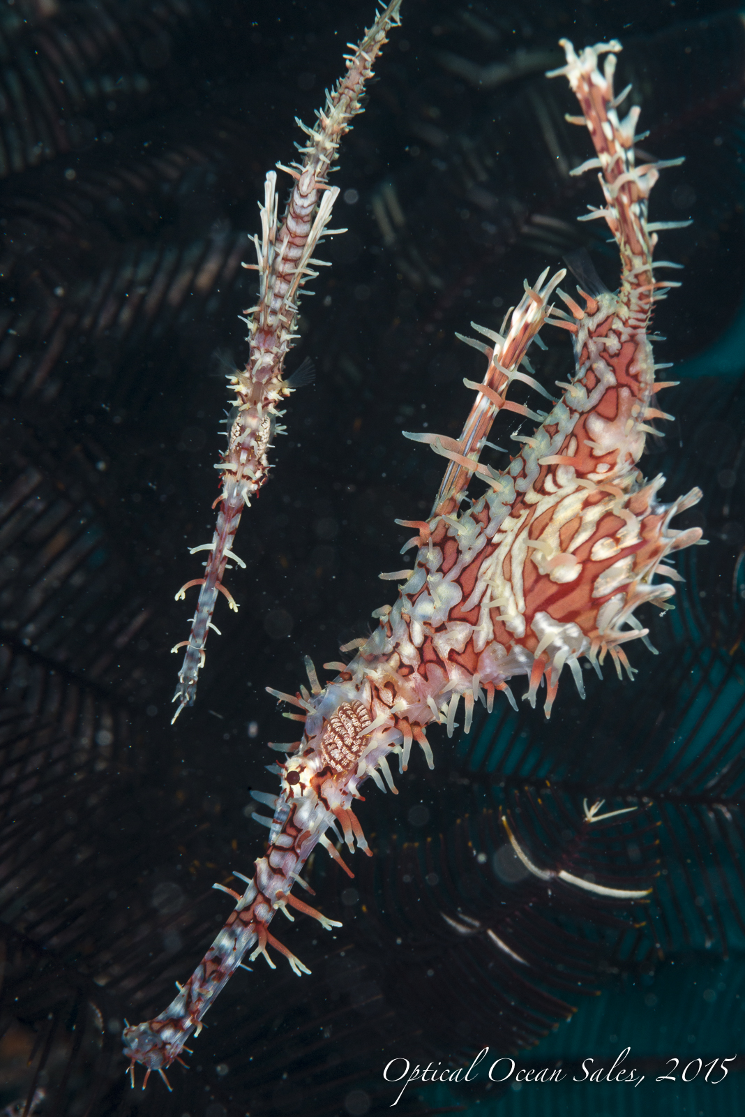 Ornate Ghost Pipefish-38