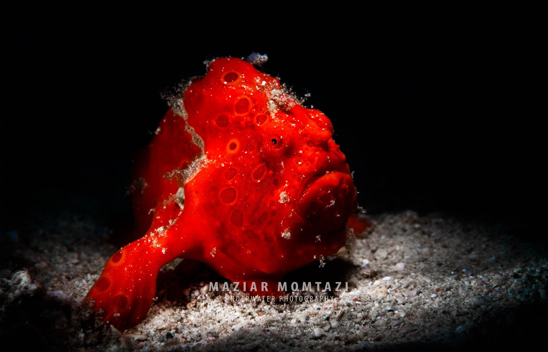 A painted Frogfish in The hisll dive site of Puerto Galera.