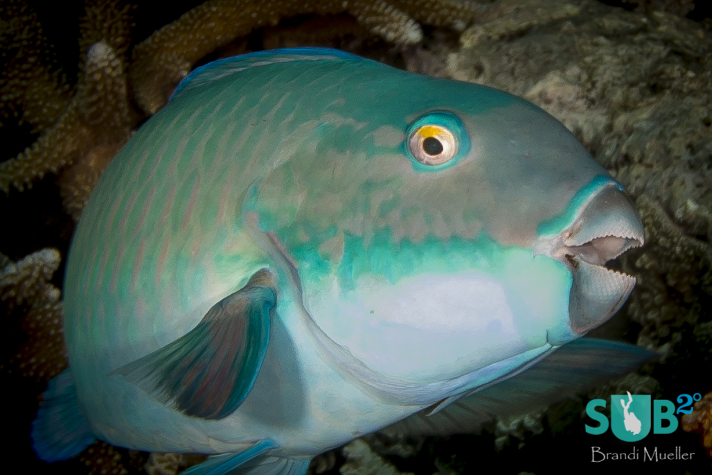 A charismatic parrotfish poses for a picture, showing off its pretty colors.