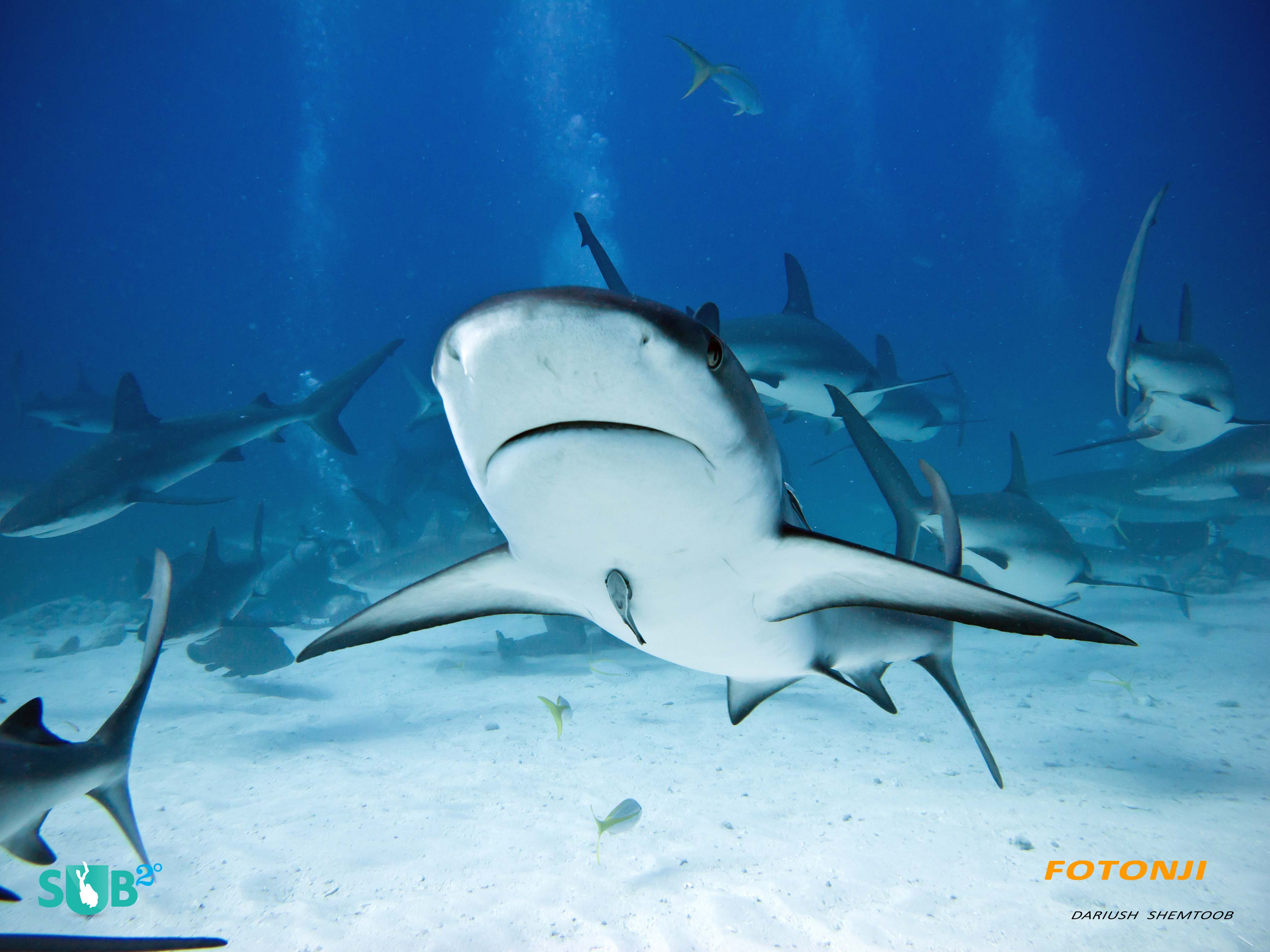 During the feeding frenzy, sharks pass overhead at great speeds.
