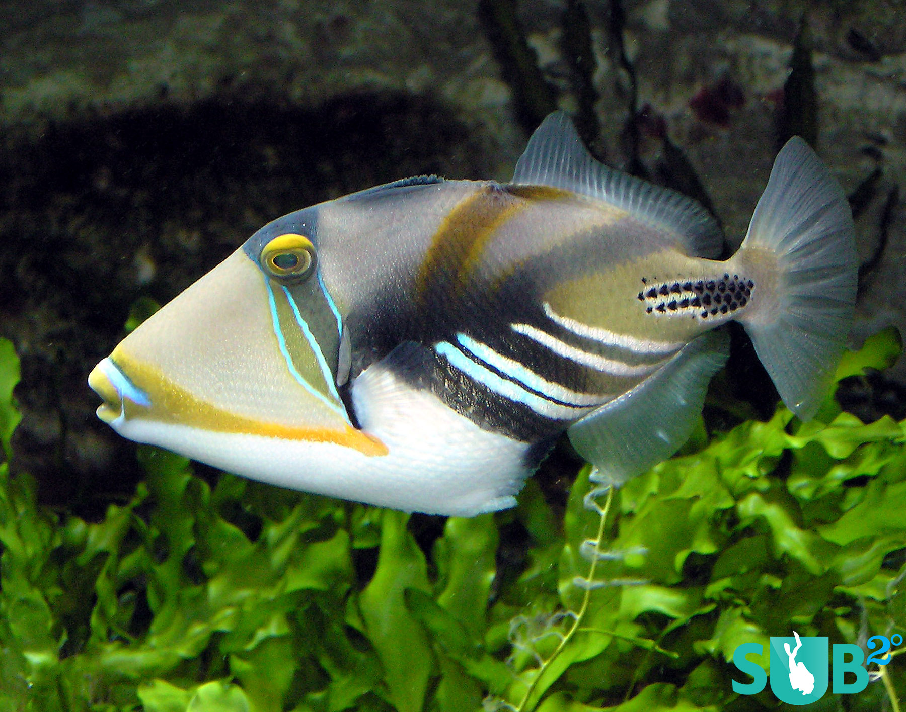 Just hearing the name Picasso Triggerfish is enough to tell you that this fish is a work of art.
