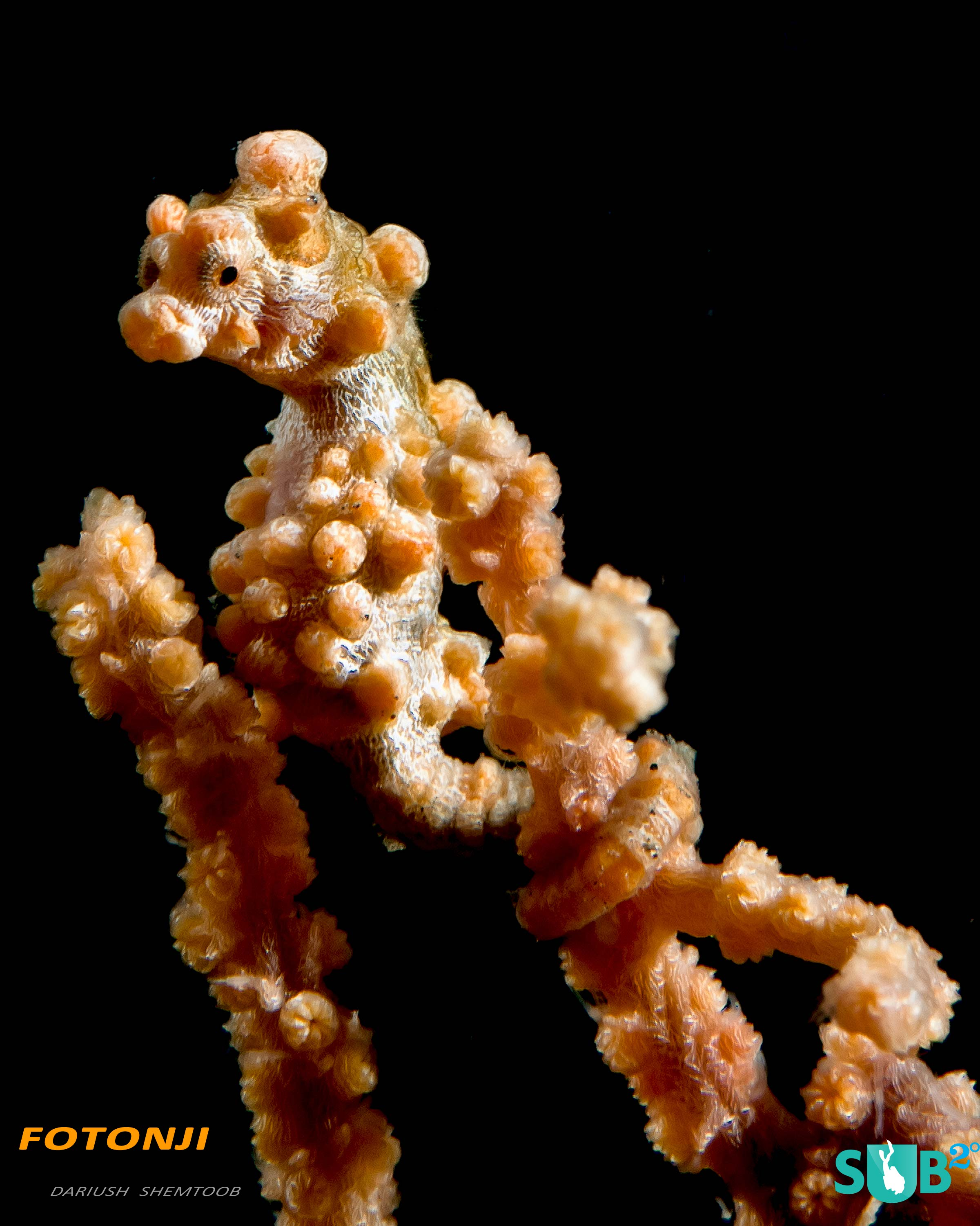Slightly larger than a grain of rice, Pigmy seahorses are a favorite Macro subject in Lembeh.
