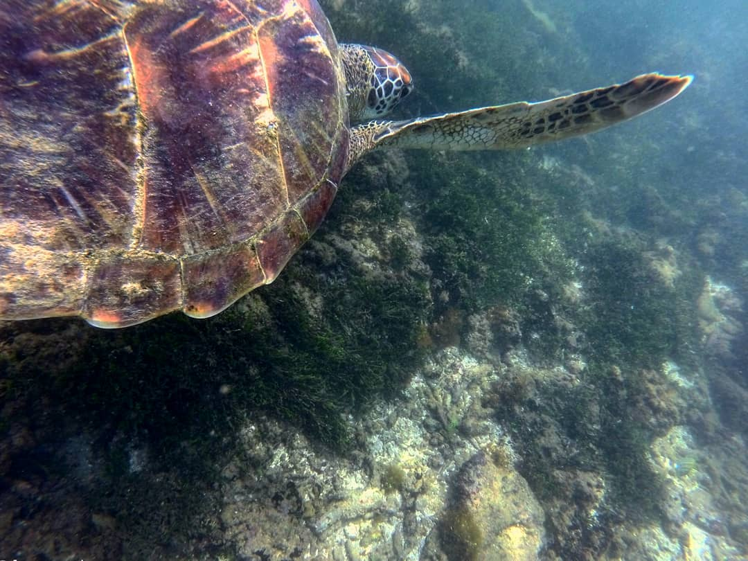 A green turtle going to get breakfast :)