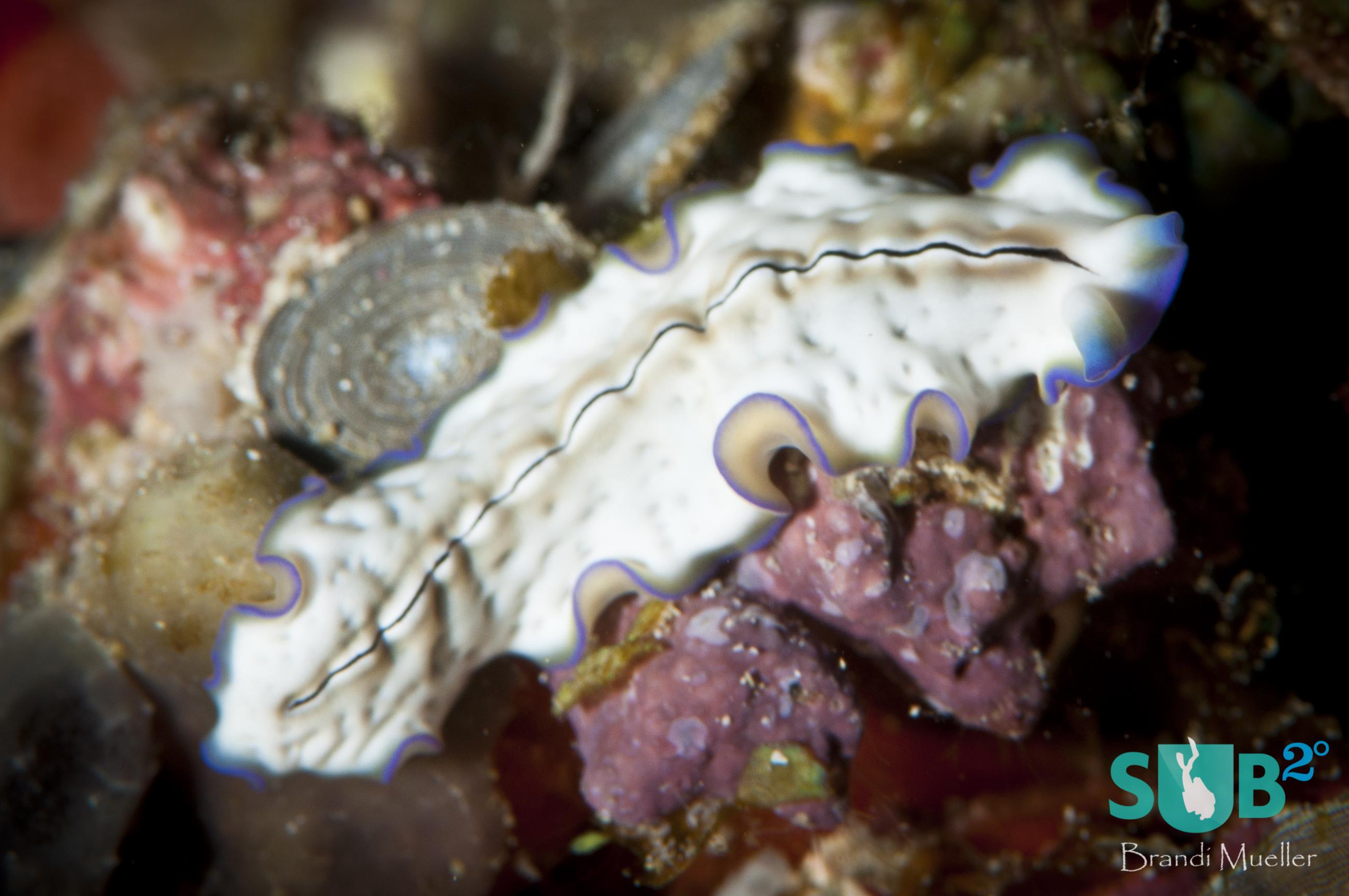 Pseudoceros Monostichos