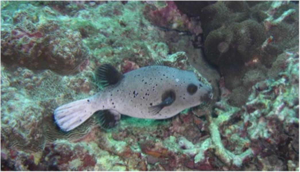 Puffer - Dive 250