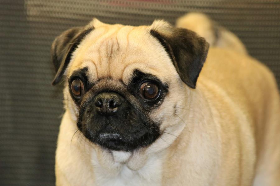 pug-dog-portrait