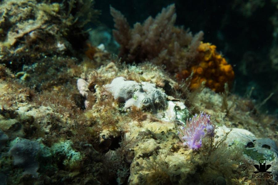 Purple Nudibranch