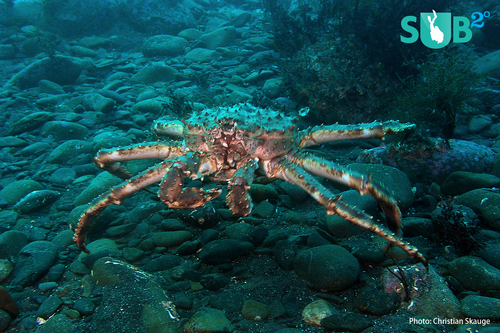 "The king crab is an awesome sight, measuring up to 1.8 meters (6 ft) in ""wingspan""."