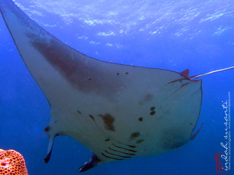 My writing on Manta Rays - http://indahs.com/2014/11/19/majestic-manta-rays/