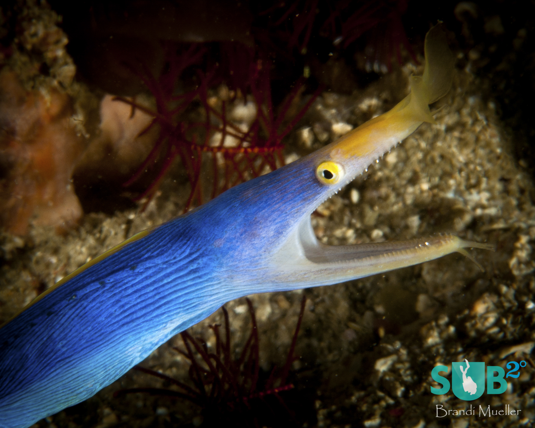 Male ribbon eels can be found in the Philippines.  Juvenile ribbon eels are black with a yellow dorsal fin, while adult males are blue with a yellow dorsal fin (like this one), and adult females are completely yellow.