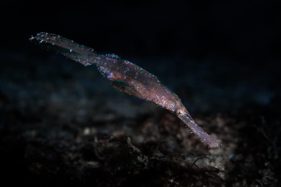 Rubost Ghost Pipefish
