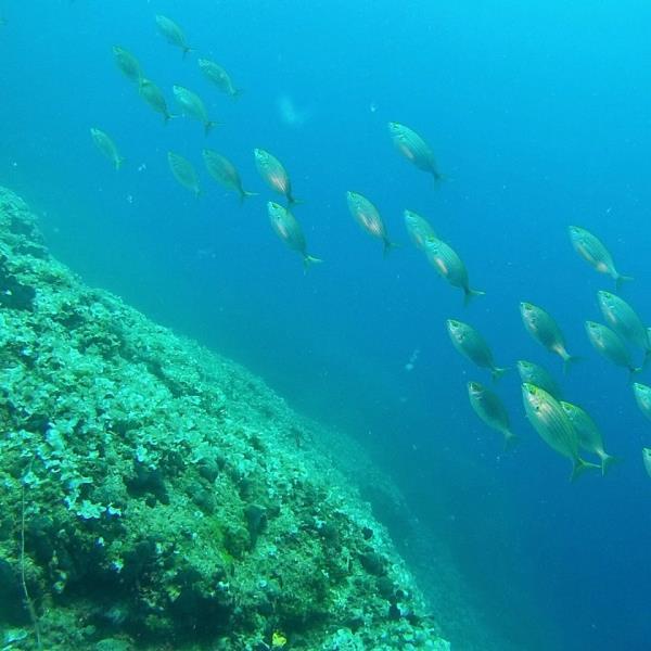 Salpa fish
