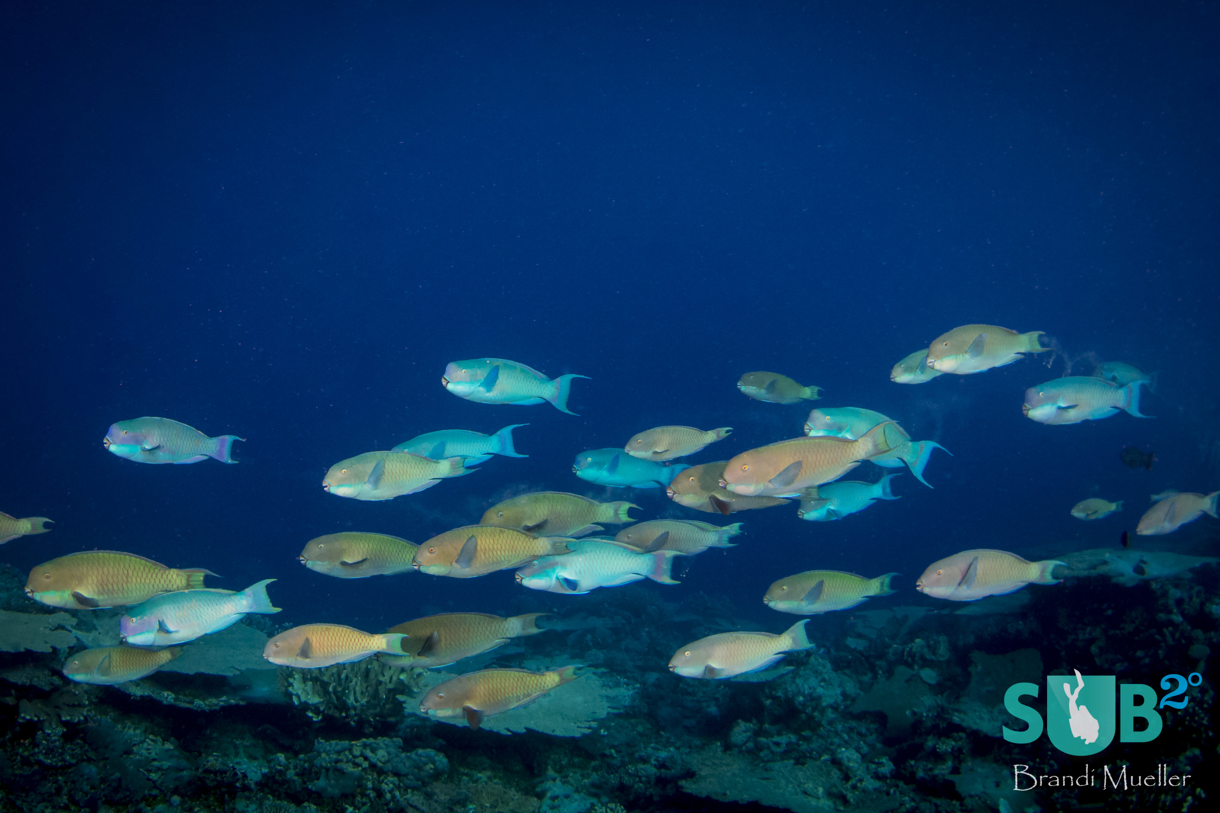 A large school of parrotfish swim over the reef, occasionally stopping to munch on some coral.