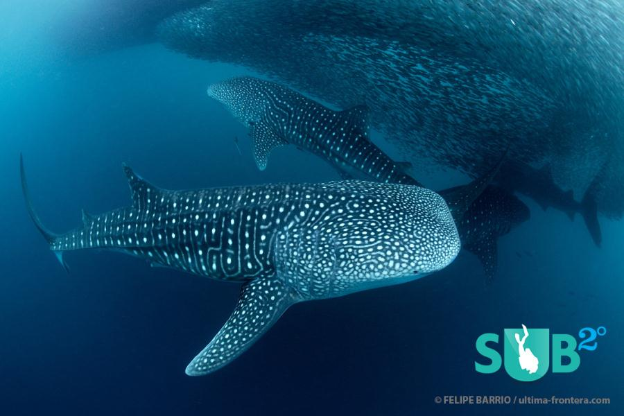 School of Whale Sharks