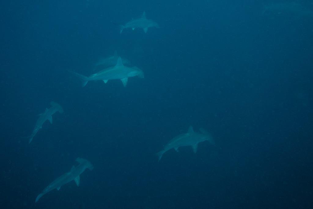 Schooling hammerheads at Protea Banks