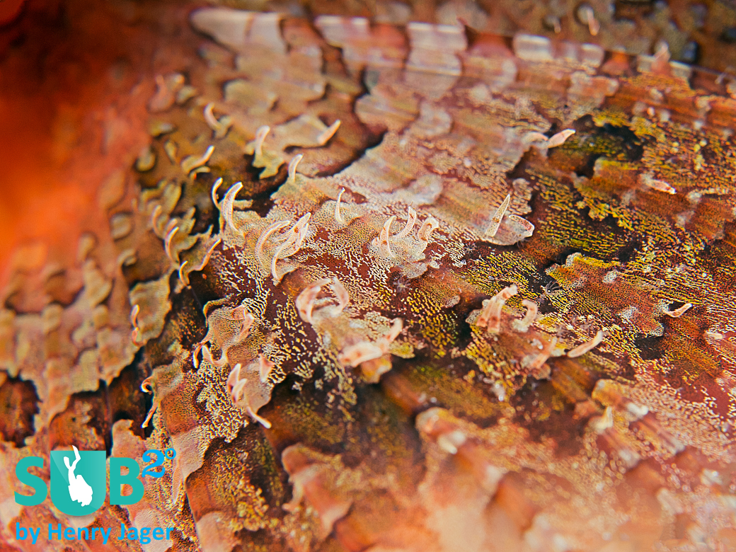 Reef-Art of a Scorpionfish fin. With diagonal composition and applying depth of field.