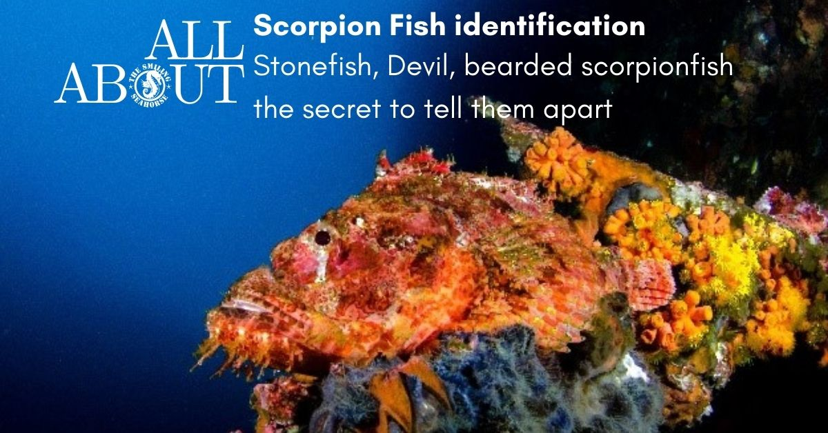 How to differentiate stonefish from its more common cousins: the Bearded Scorpionfish and Devil Scorpionfish...