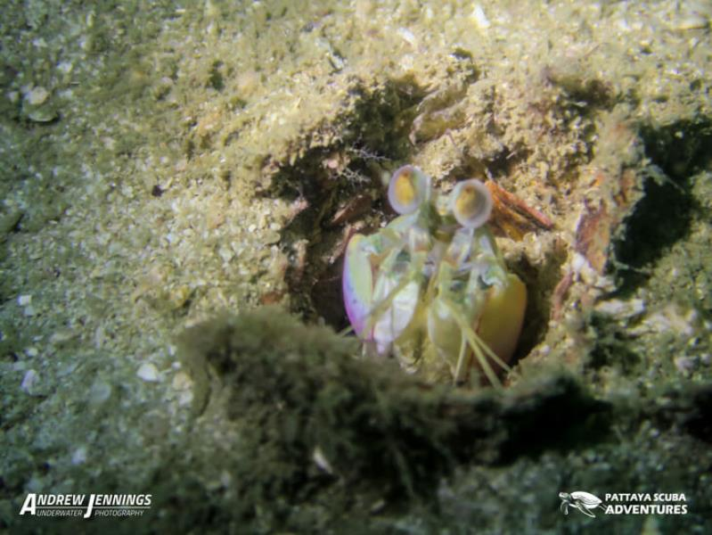 Scuba Adventures Diving Pattaya - Mantis Shrimp