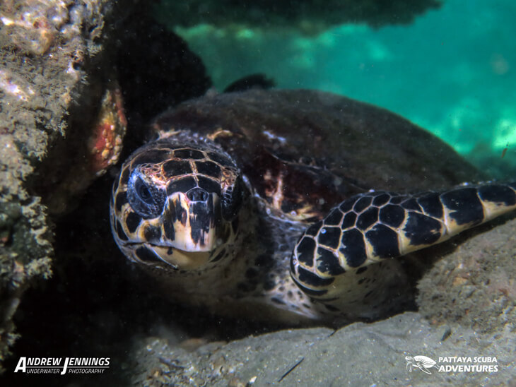 one of at least 4 local resident Hawsbll Sea Turtles