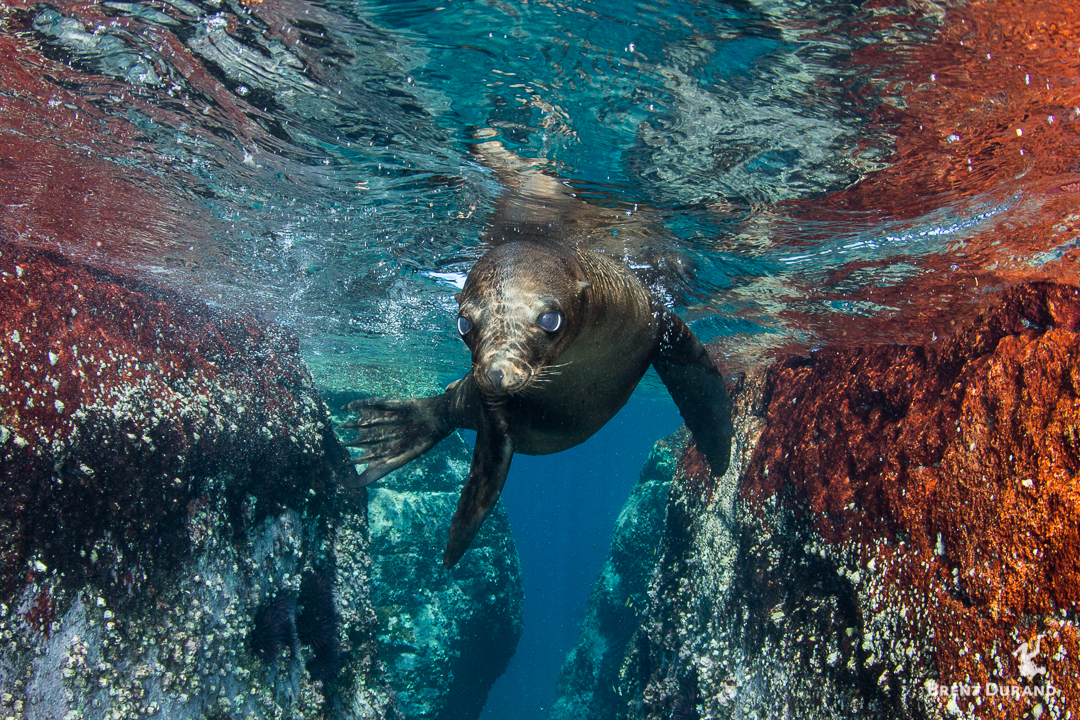 A young sea lions stares at the camera in a colorful rock channel of Los Islotes.