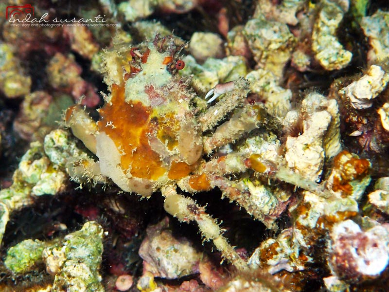 Schizophrys sp - this crab usually seen at night. It is well camouflaged :)  Also called as Sea toad spider crab