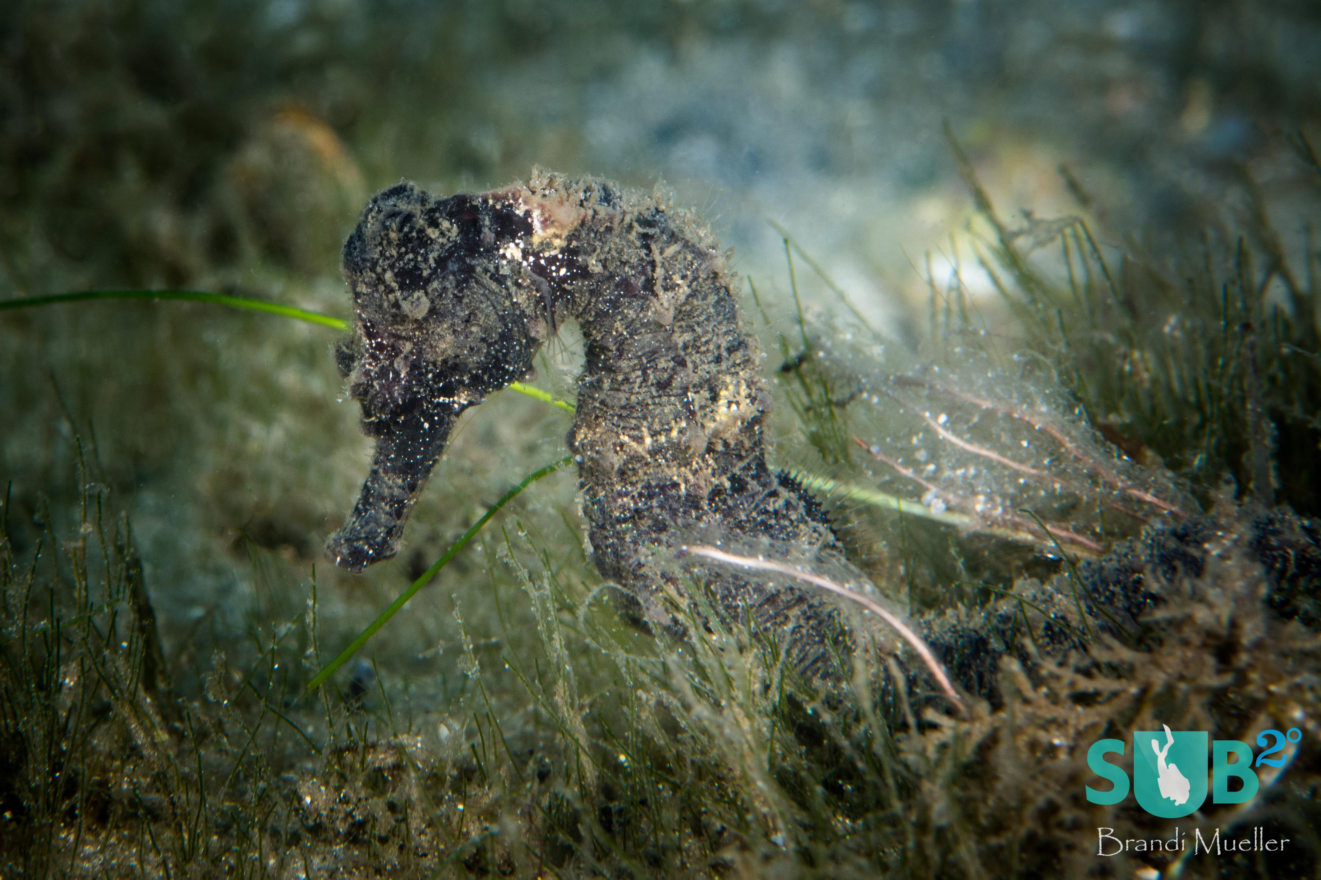 A seahorse hides in seagrass under the Blue Heron Bridge.