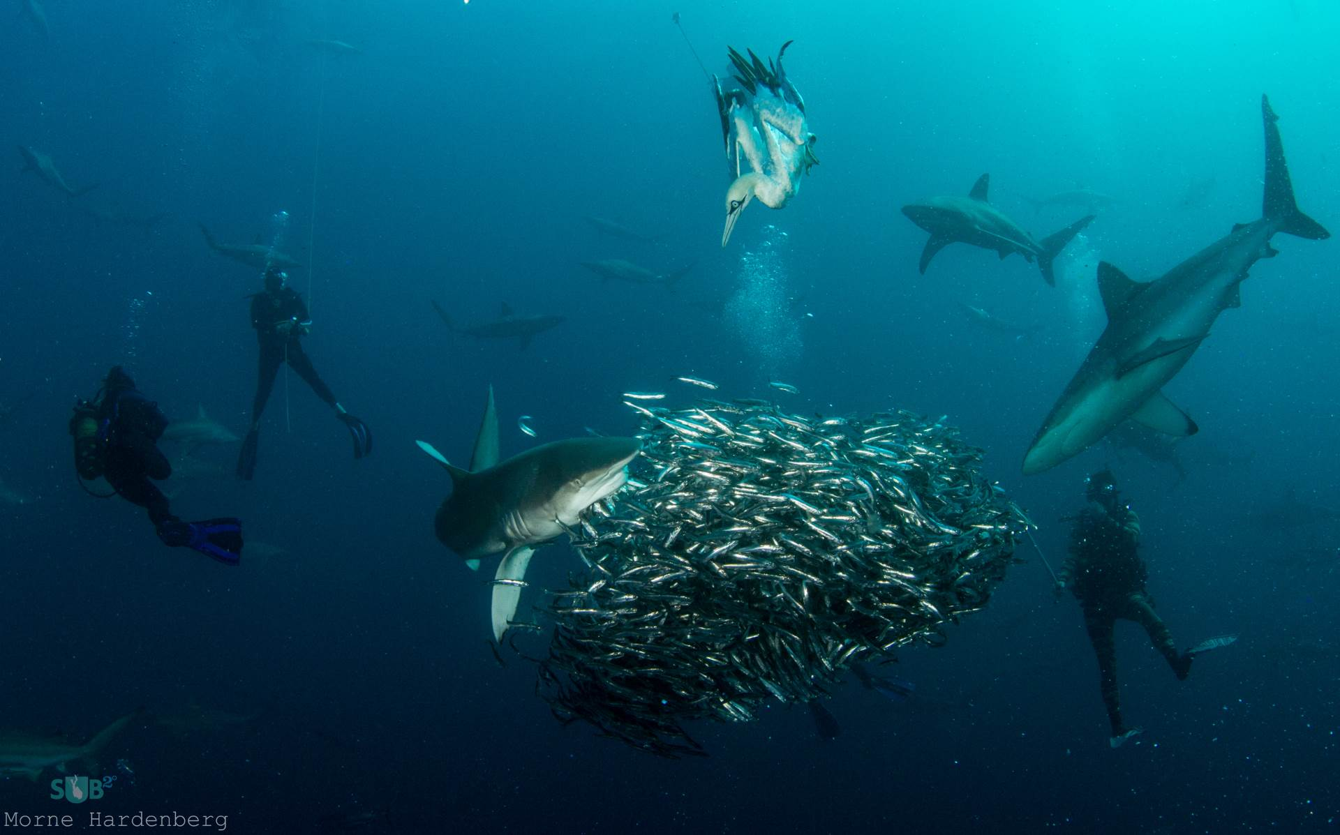 The melee of predators turn the ocean into a diver's dream come true.