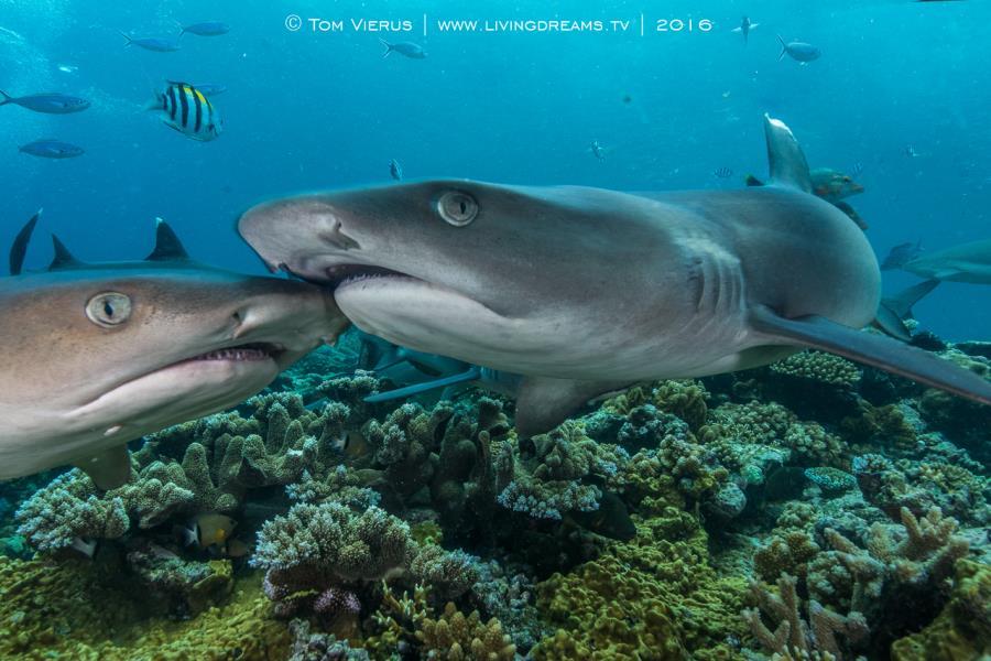 Shark Kiss