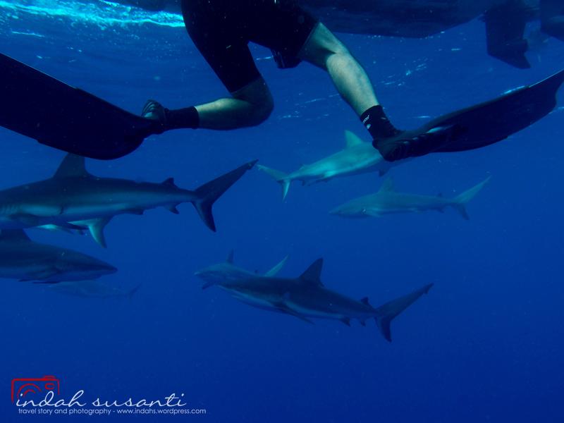 Sharks Diving Jardines de la Reinamedia...