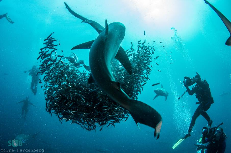 Sharks Preying on Shimmering Mass of Sardines