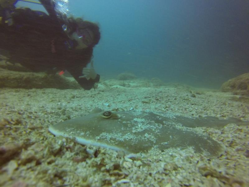 Shovel Ray With Diver