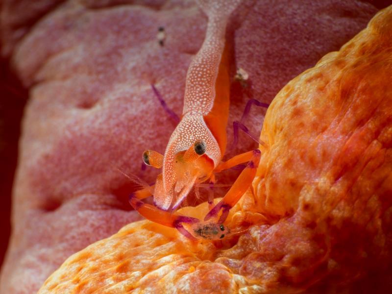 Shrimp - Imprial shrimp with prey