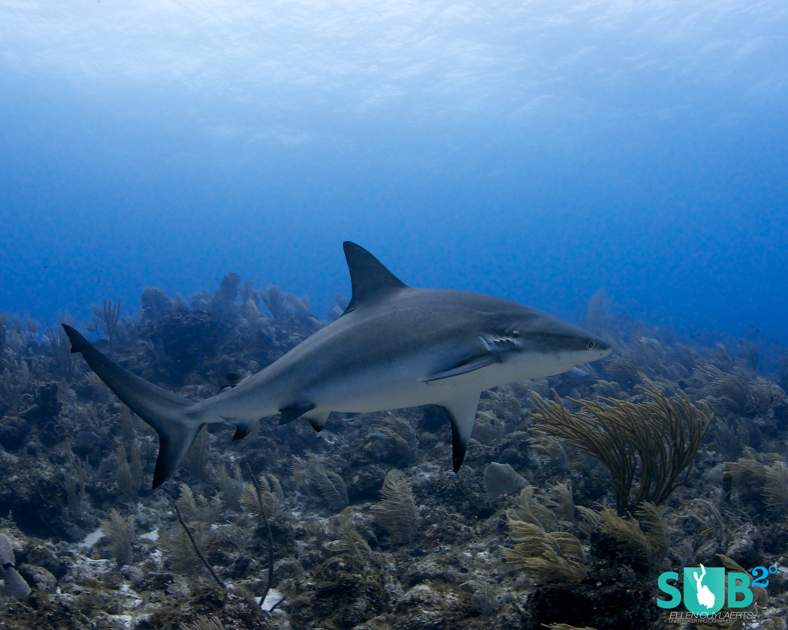 An arched back or fins down can be signs of irritation and might be signs to leave the scene, especially with less experienced divers in the group. Heartbeats tend to go up and sharks are very good at picking this up, with more bold behavior following.