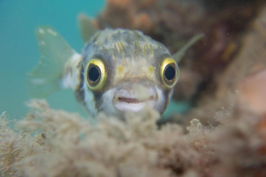 Smiling globefish