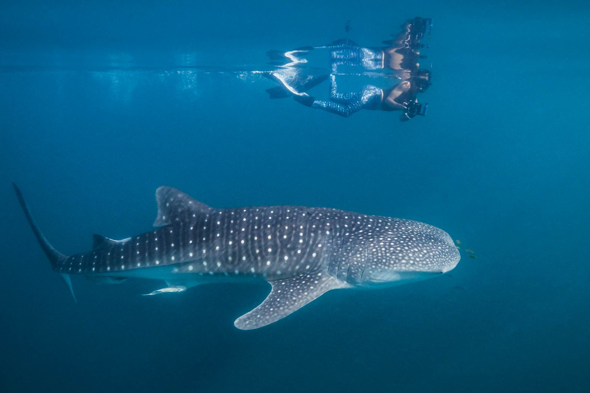 A snorkeller swims with a juvenile whale shark off Mafia Island in Tanzania. The area is sheltered, so you get flat and sunny days like here to capture nice reflections at the surface. Mafia Island is probably the best place in Africa to see whale sharks, plus it is a lovely island with a healthy reef in the nearby marine park.