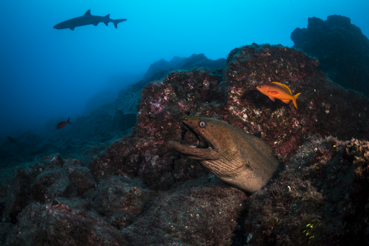 A moray looks out of its crevice while being by a clarion fish, while a white tipped reef shark swims by overhead