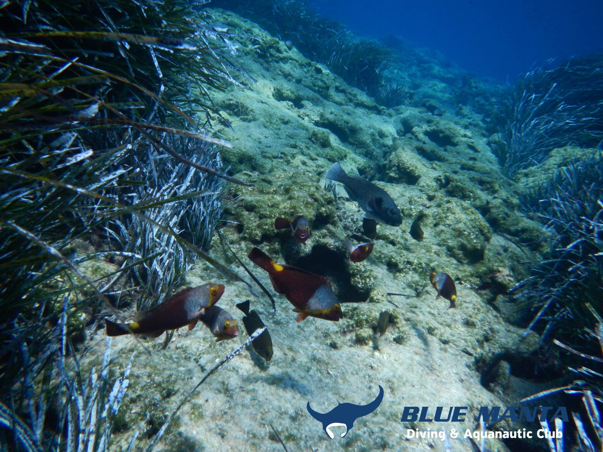 A school of Mediterranean parrotfish. The colourful are the females and the grey is the dominant male.