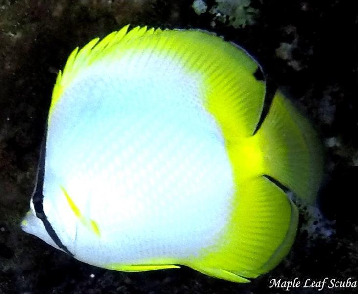 spotfin-butterflyfish-dive-shop-cozumel-maple-leaf-scuba-mexico